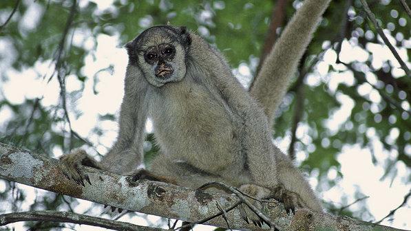 Muriqui-do-norte: maior primata do Brasil, tem como habitat áreas de Mata Atlântica